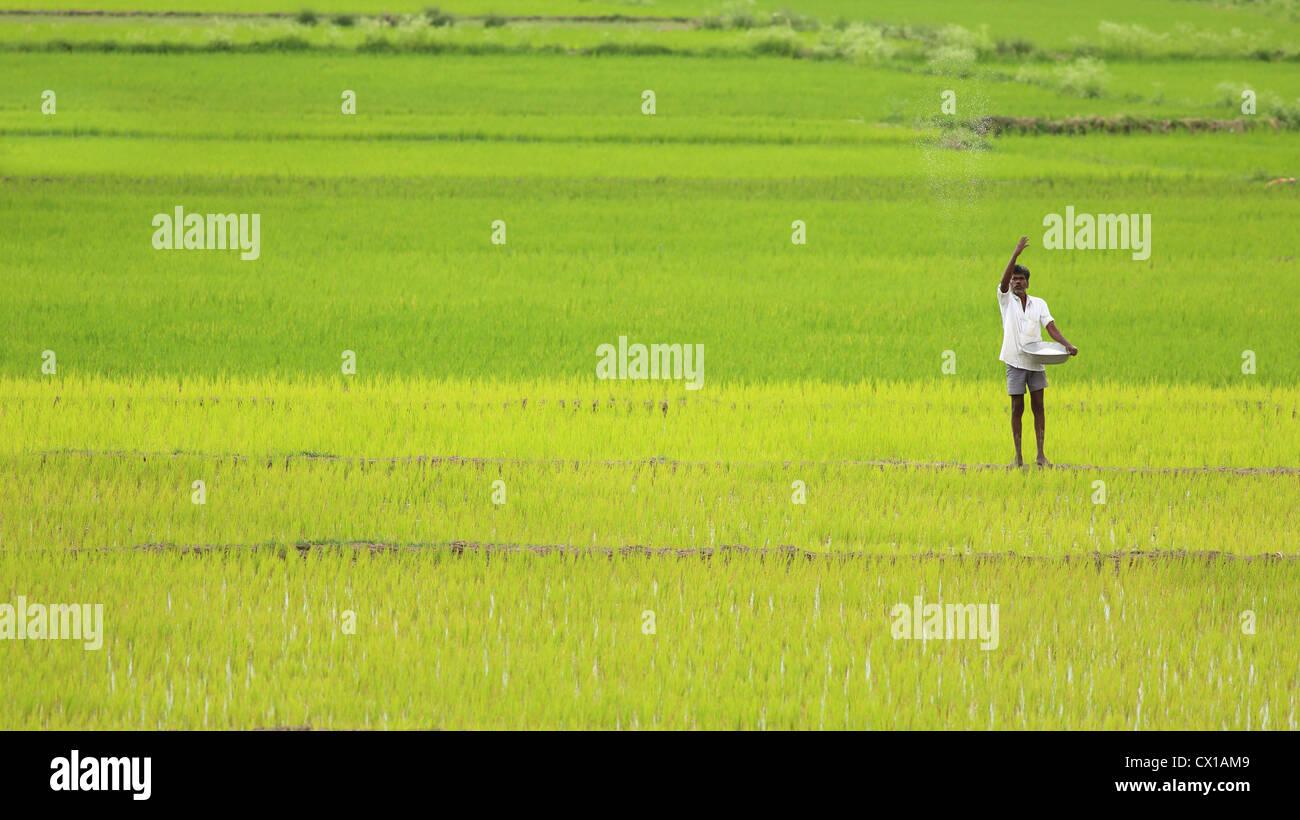 Rural Indian farmer spreading fertilizer Andhra Pradesh South India - Stock Image