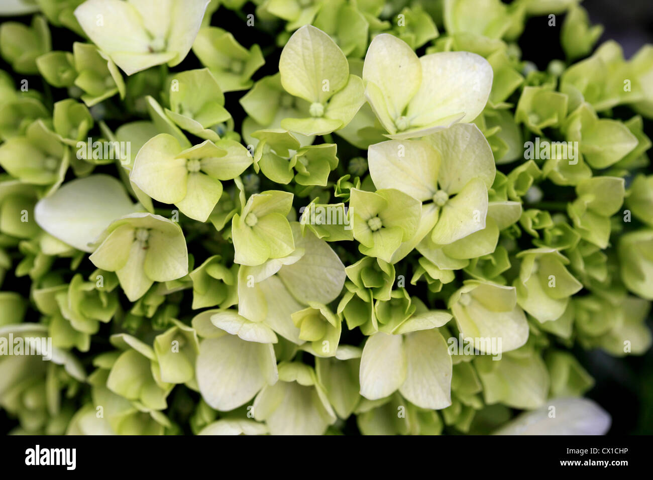 Closeup View Of Bunch Of White Tiny Flowers Stock Photo 50433650