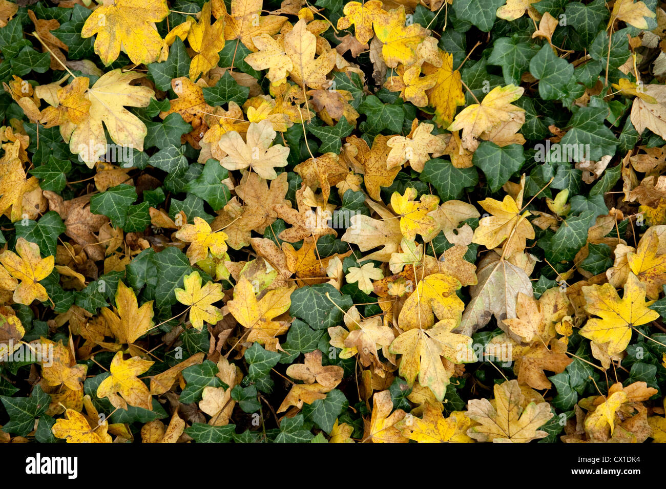 Autumn leaves on woodland floor Field Maple Acer campestre & Ivy Ranscombe Farm Nature Reserve Kent UK yellow - Stock Image