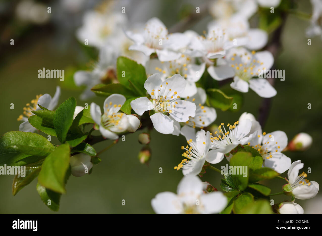 White plum flower in close up stock photo 50434545 alamy white plum flower in close up mightylinksfo