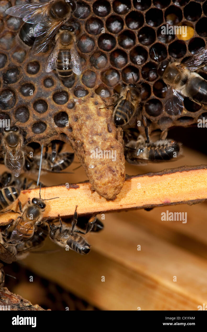 Honey Bee Apis mellifera Kent UK queen cell on honeycomb hive - Stock Image