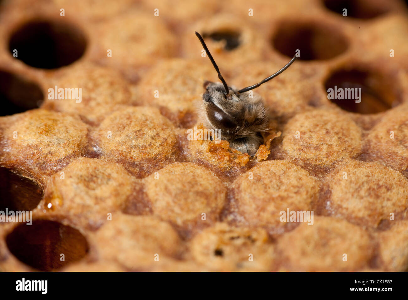 Worker Honey Bee Emerging Apis mellifera Kent UK hatching from sealed cell in brood chamber adult - Stock Image