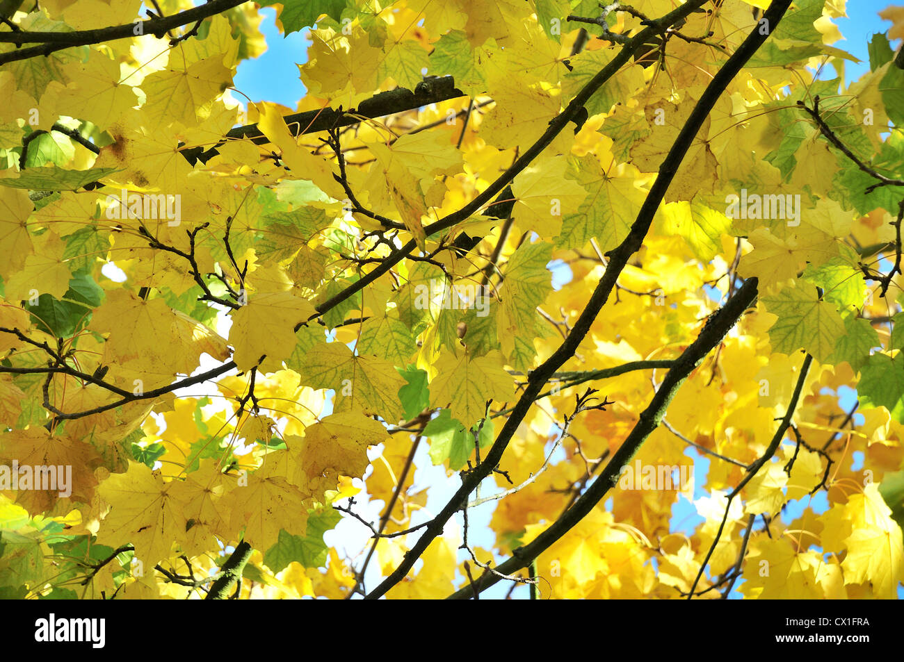 Branches of Autumn leaves against a blue sky - Stock Image
