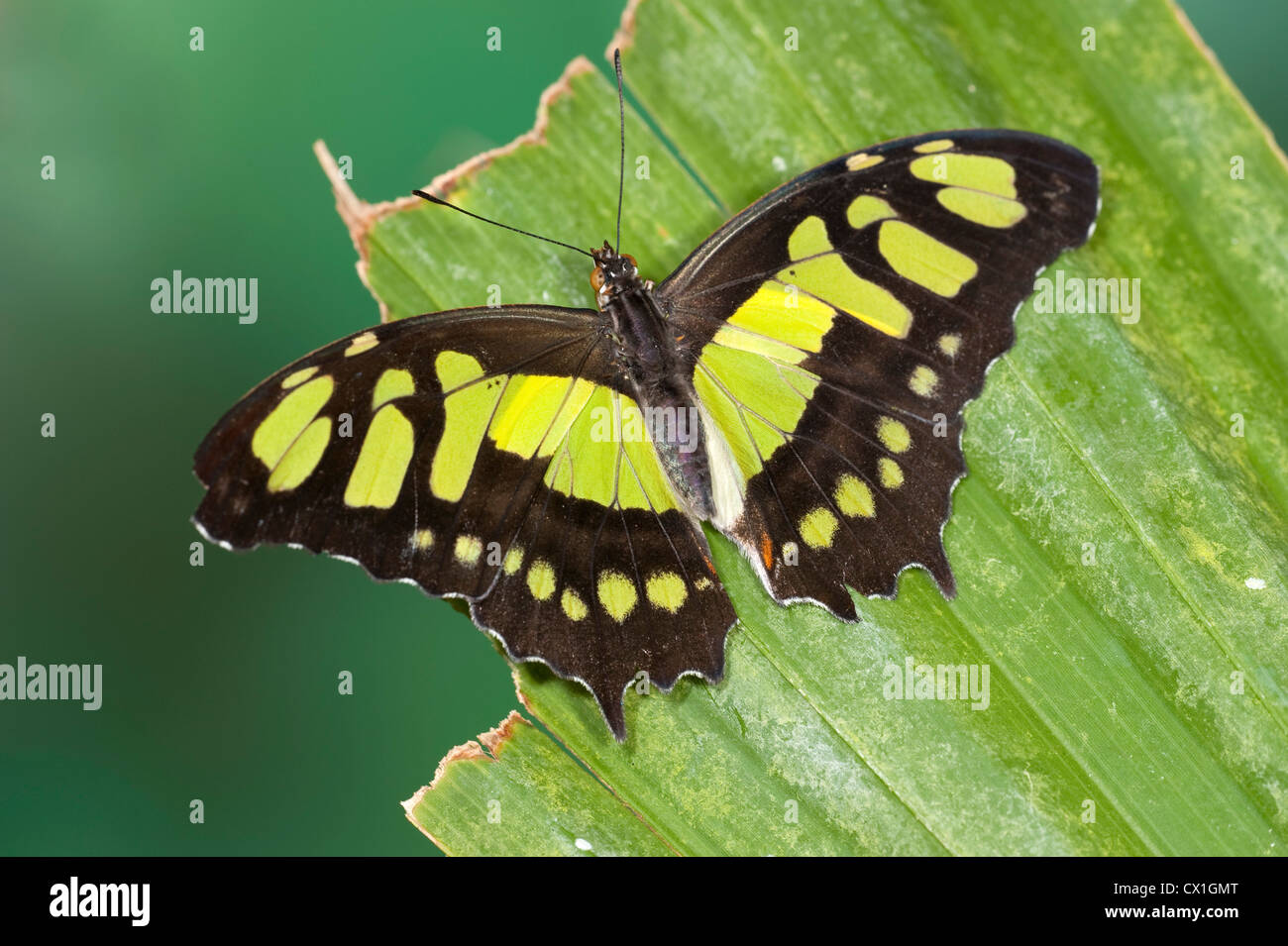 Malachite Butterfly Siproeta stelenes South America wings open green and brown colour - Stock Image