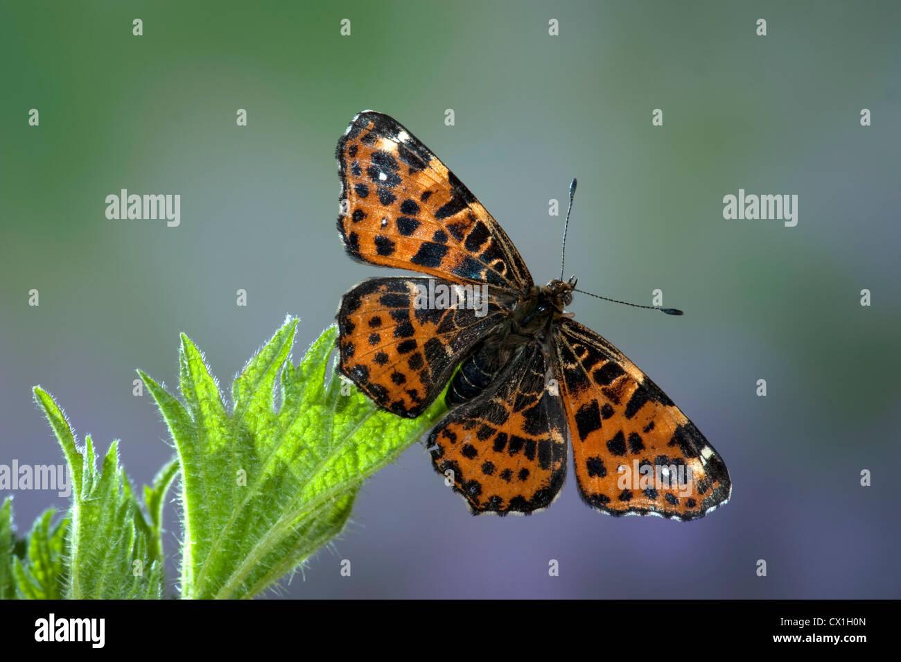 Map Butterfly Araschnia levana European species - Stock Image
