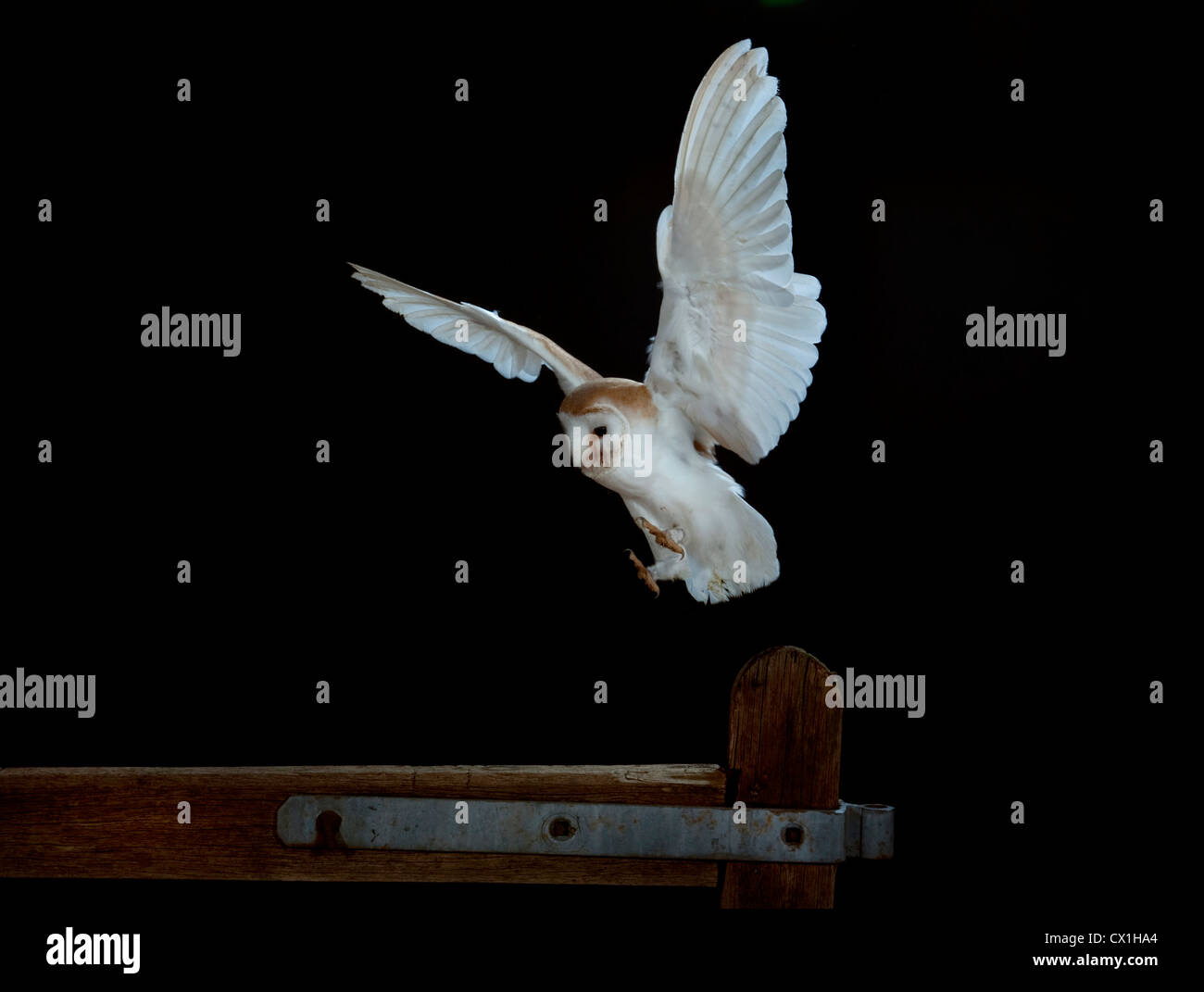 Barn Owl Tyto Alba Kent UK flying to fence post high speed photographic technique - Stock Image