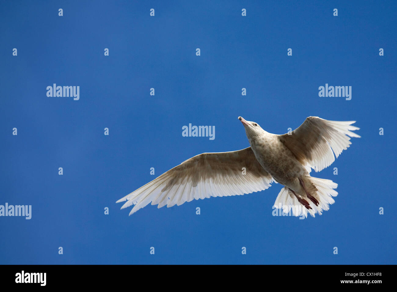 Glaucous gull (Larus hyperboreus) in flight, Svalbard, Spitsbergen, Norway - Stock Image