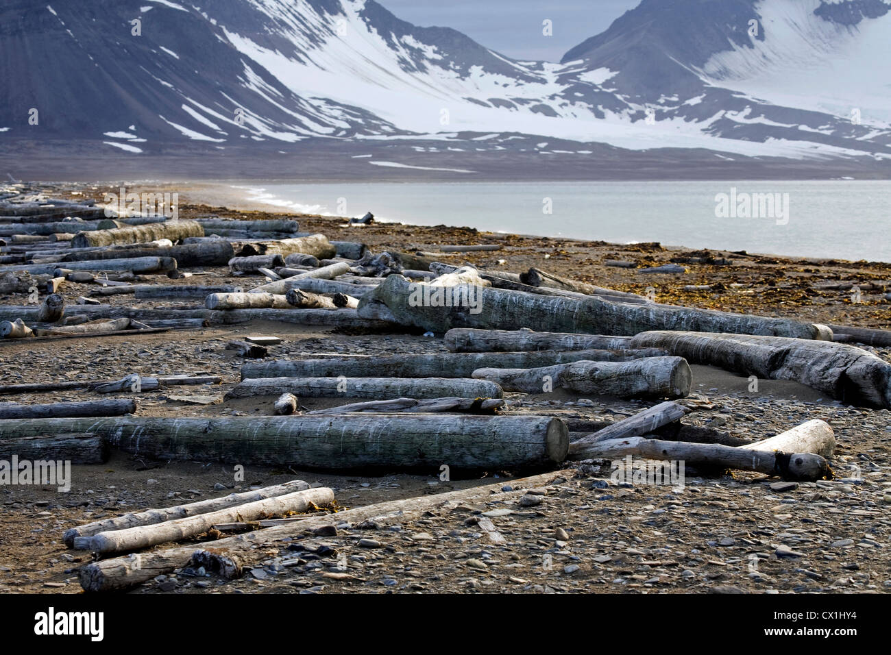 Logs from Siberia washed ashore as driftwood on Arctic beach at Svalbard, Spitsbergen, Norway - Stock Image
