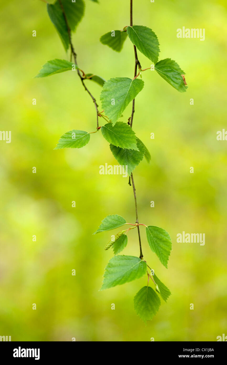 Silver Birch Betula pendula Leaves East Blean Woodlands Kent UK Kent Wildlife Trust young leaves - Stock Image