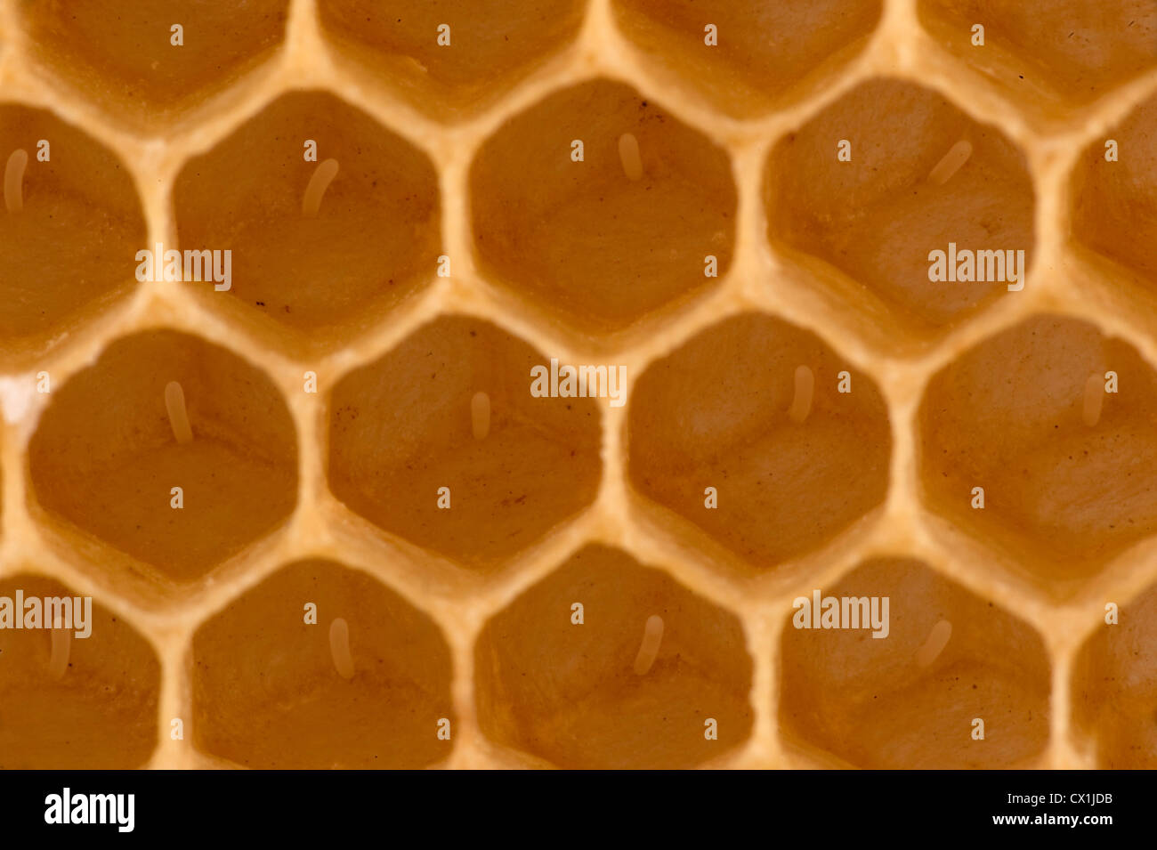 Close up of eggs laid in cells of honecomb of hive Honey Bee Apis mellifera Kent UK - Stock Image