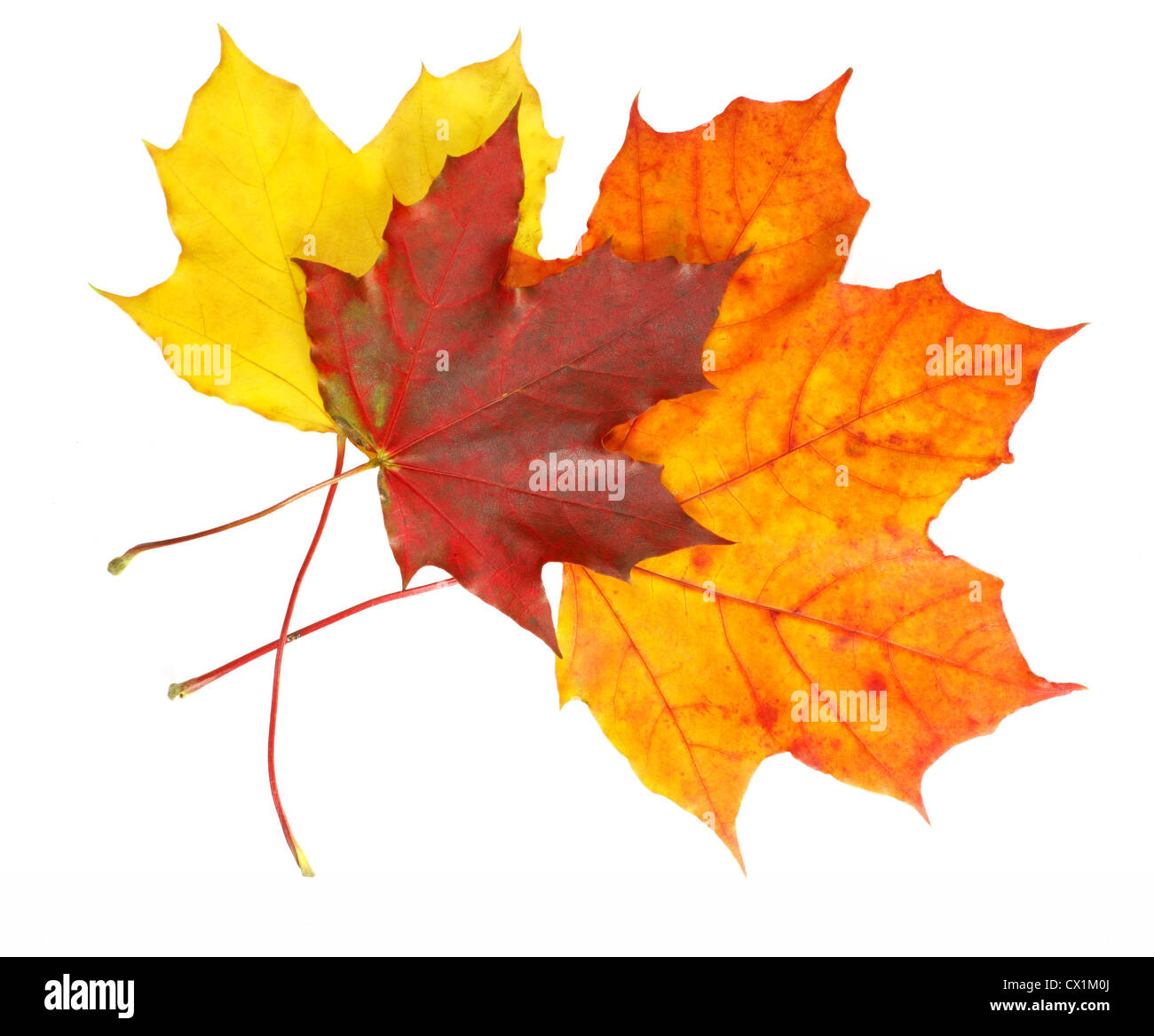 Vibrant maple leaves in various colors of fall isolated on white. - Stock Image