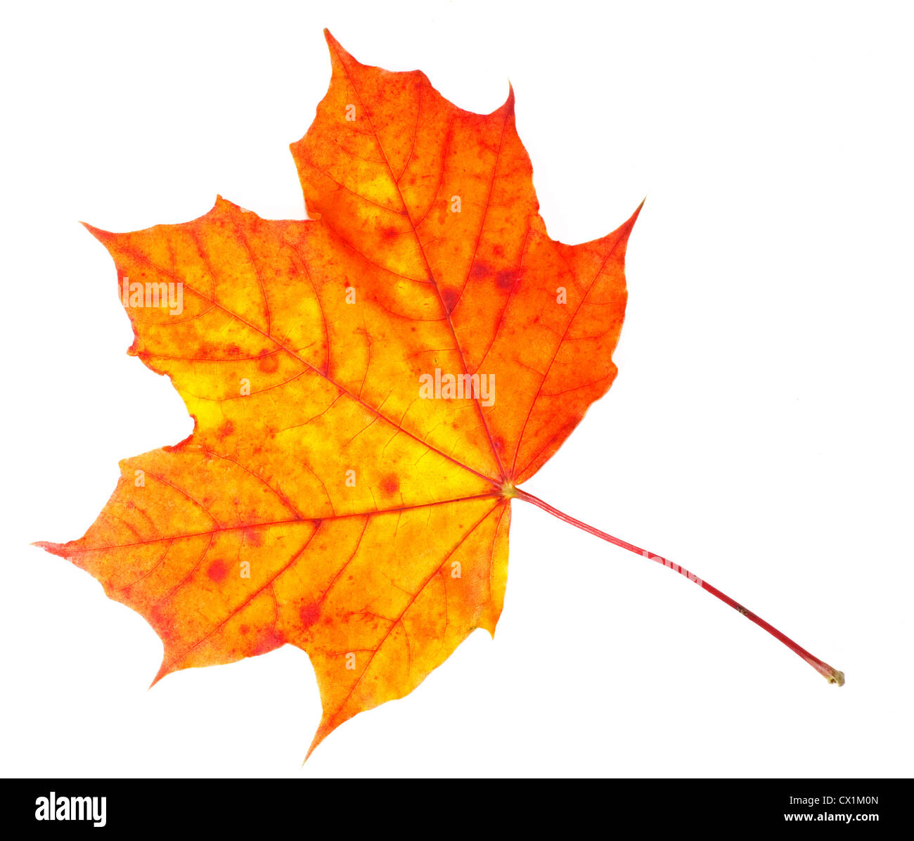 Vibrant maple leaf in various colors of fall isolated on white. - Stock Image