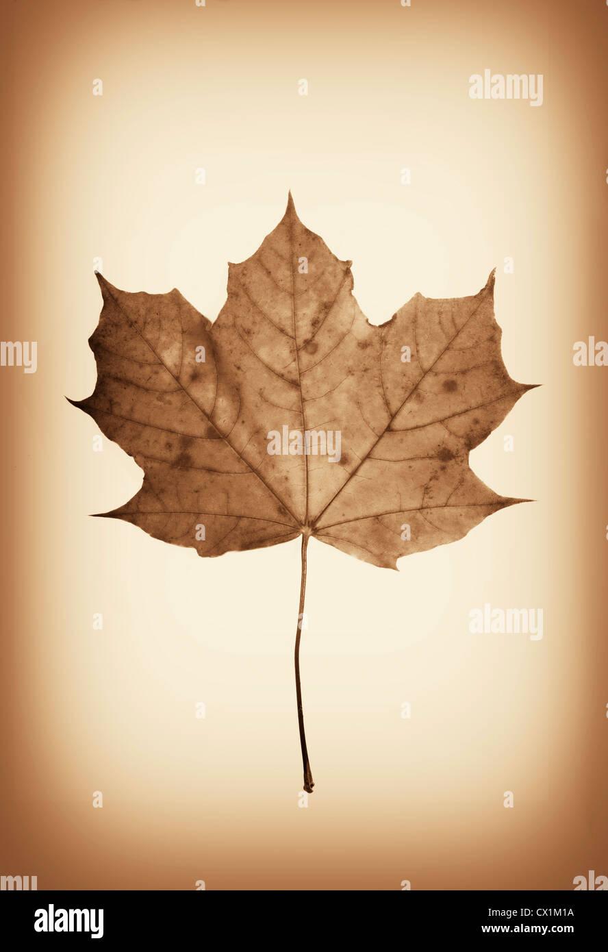 Antique sepia toned pressed maple leaf in a sepia tone. - Stock Image