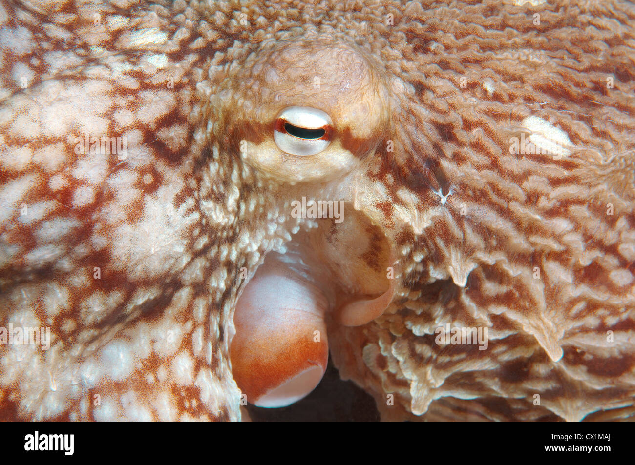 Giant Pacific octopus or North Pacific giant octopus, (Enteroctopus dofleini). Japan sea, Far East, Primorsky Krai, - Stock Image
