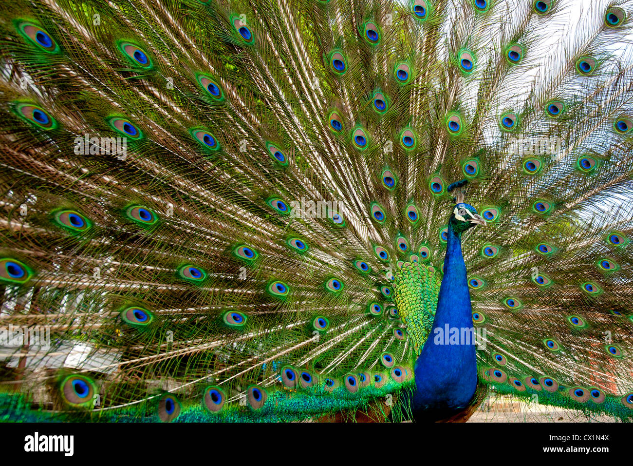 Peacock, Mill Works, Mill House, Yafford Mill, Calbourne, Isle of Wight, England, UK, - Stock Image