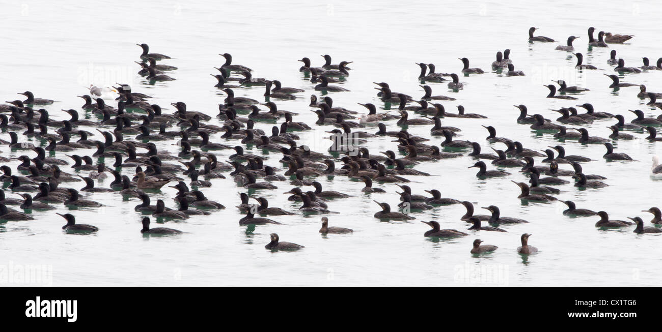 Raft of Cormorants - Stock Image