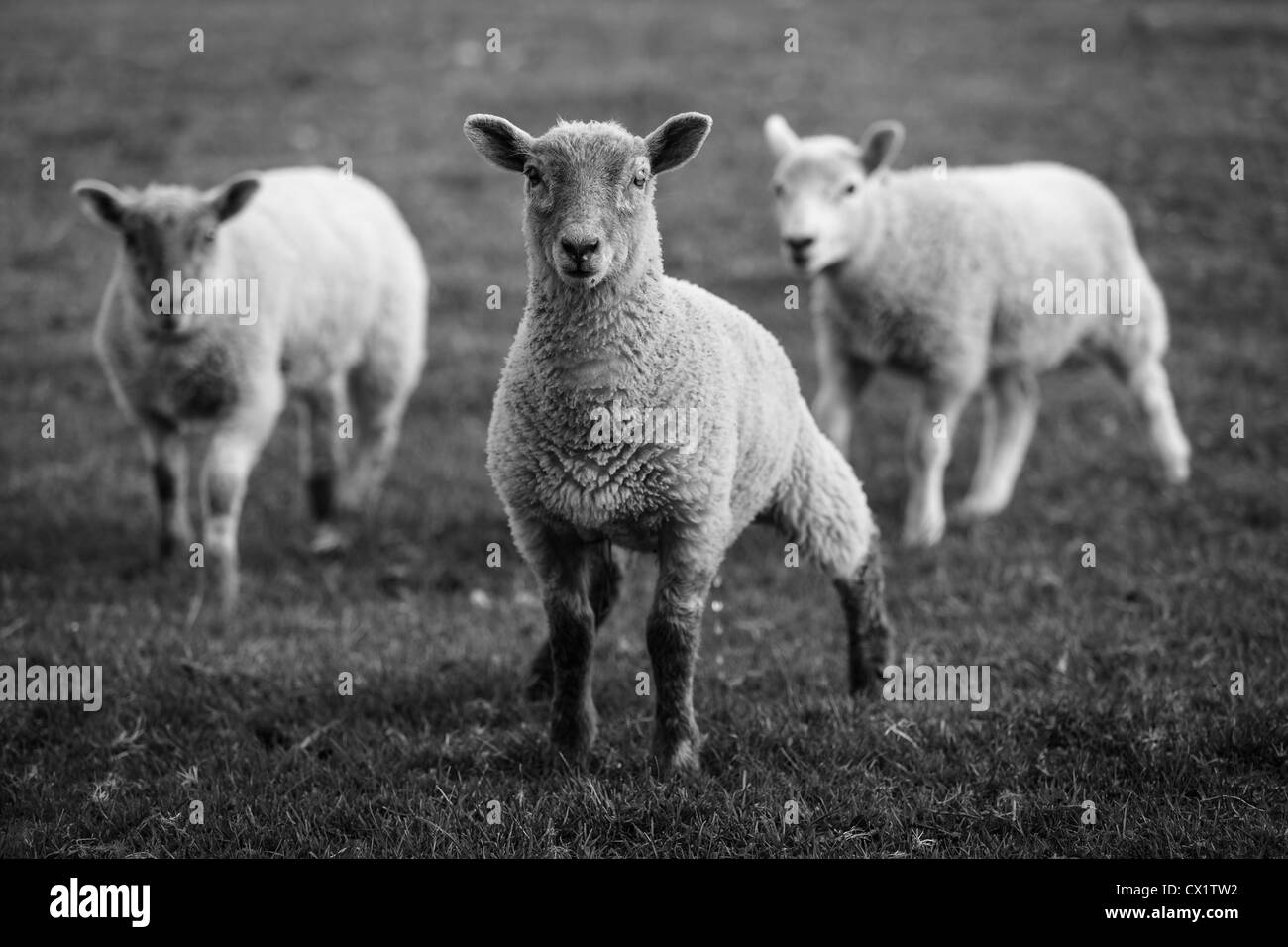 3 baby black and white lambs in countryside field - Stock Image