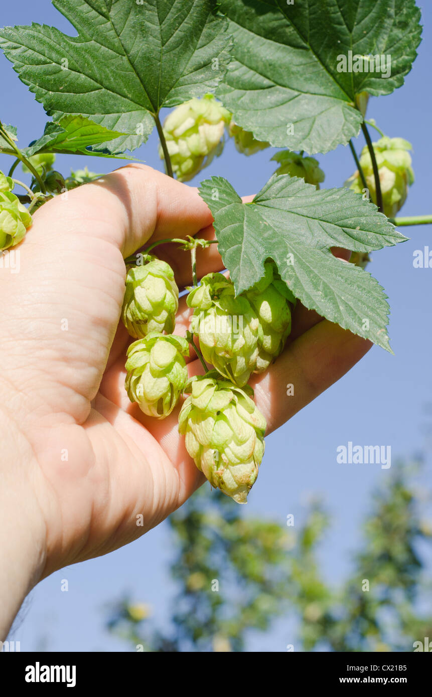 green hops in hand - Stock Image