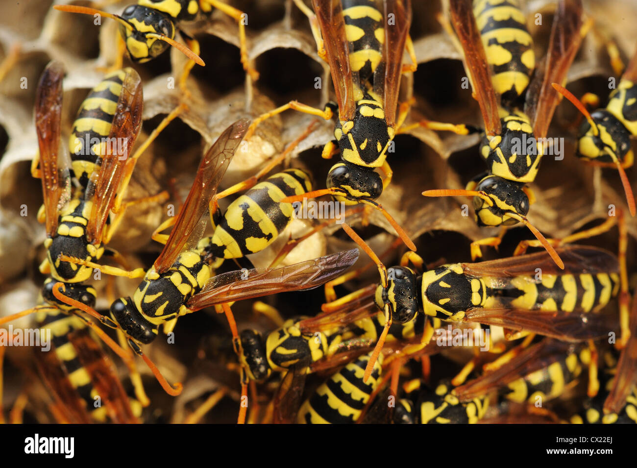Wasps in the nest among the dry grass in Israel - Stock Image