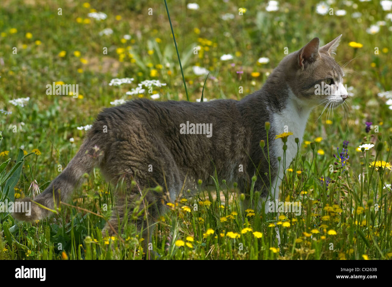 Young cat standing in flowering meadow observing something attentively - Stock Image