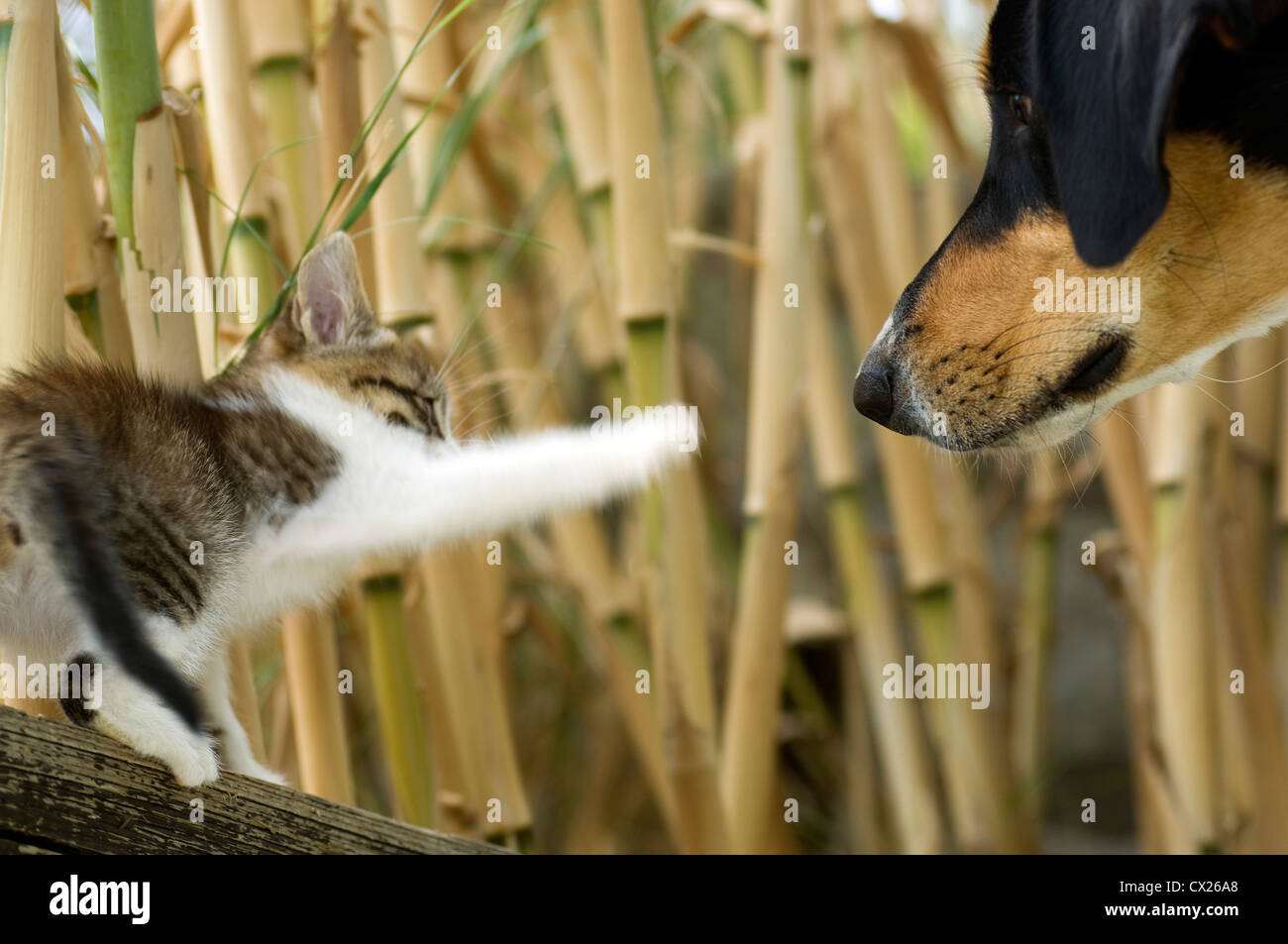 Kitten meets dog - Stock Image