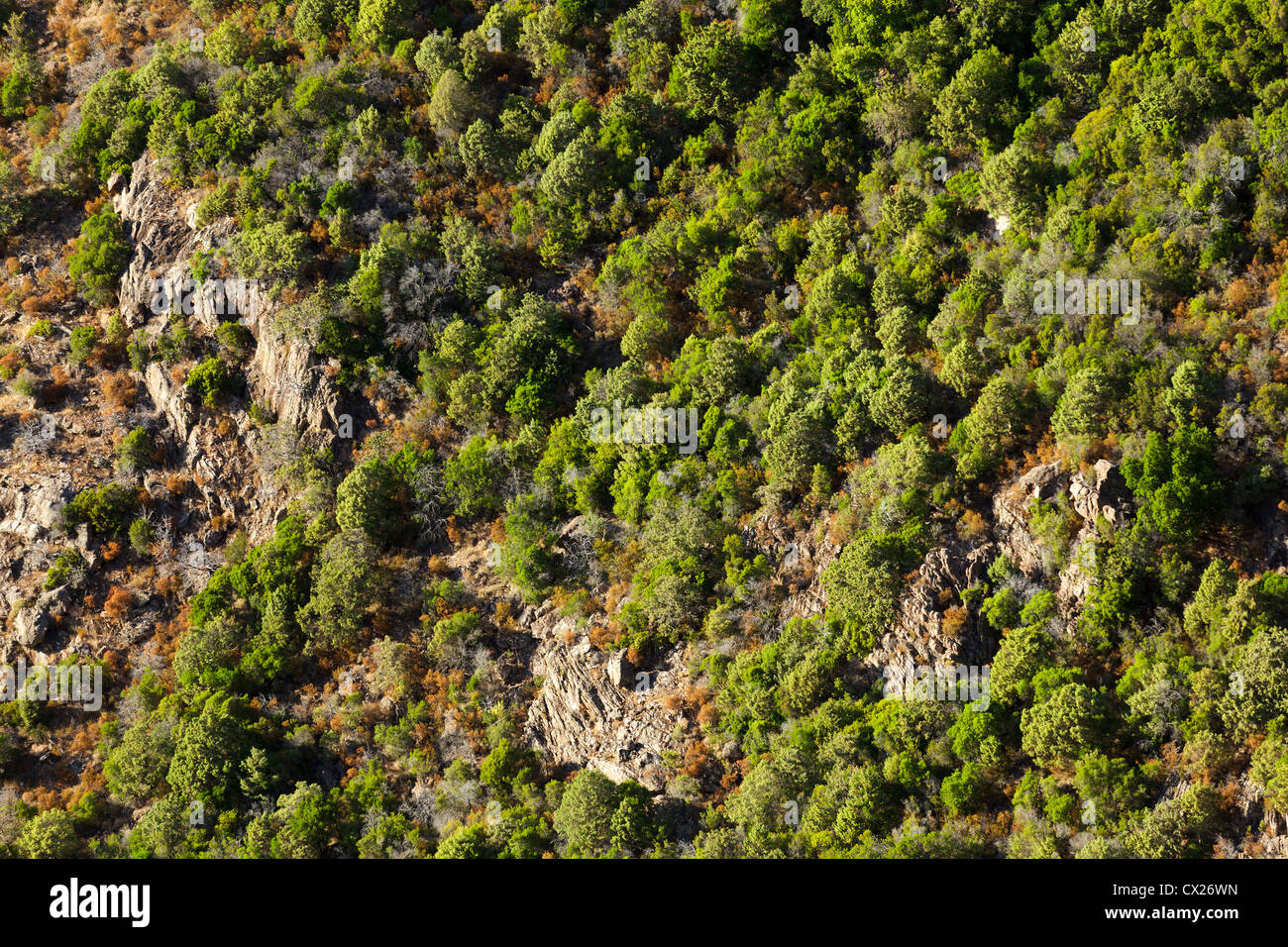 aerial view of pine tree forest in Corsica island, France - Stock Image