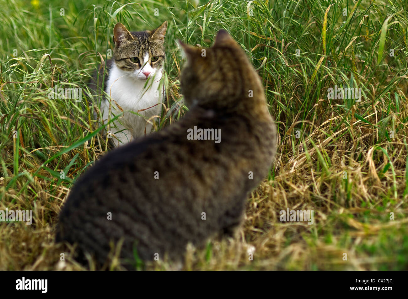 Encounter of two domestic cats - Stock Image