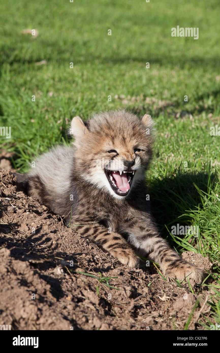 Cheetah cub snarling cheekily, South Africa - Stock Image
