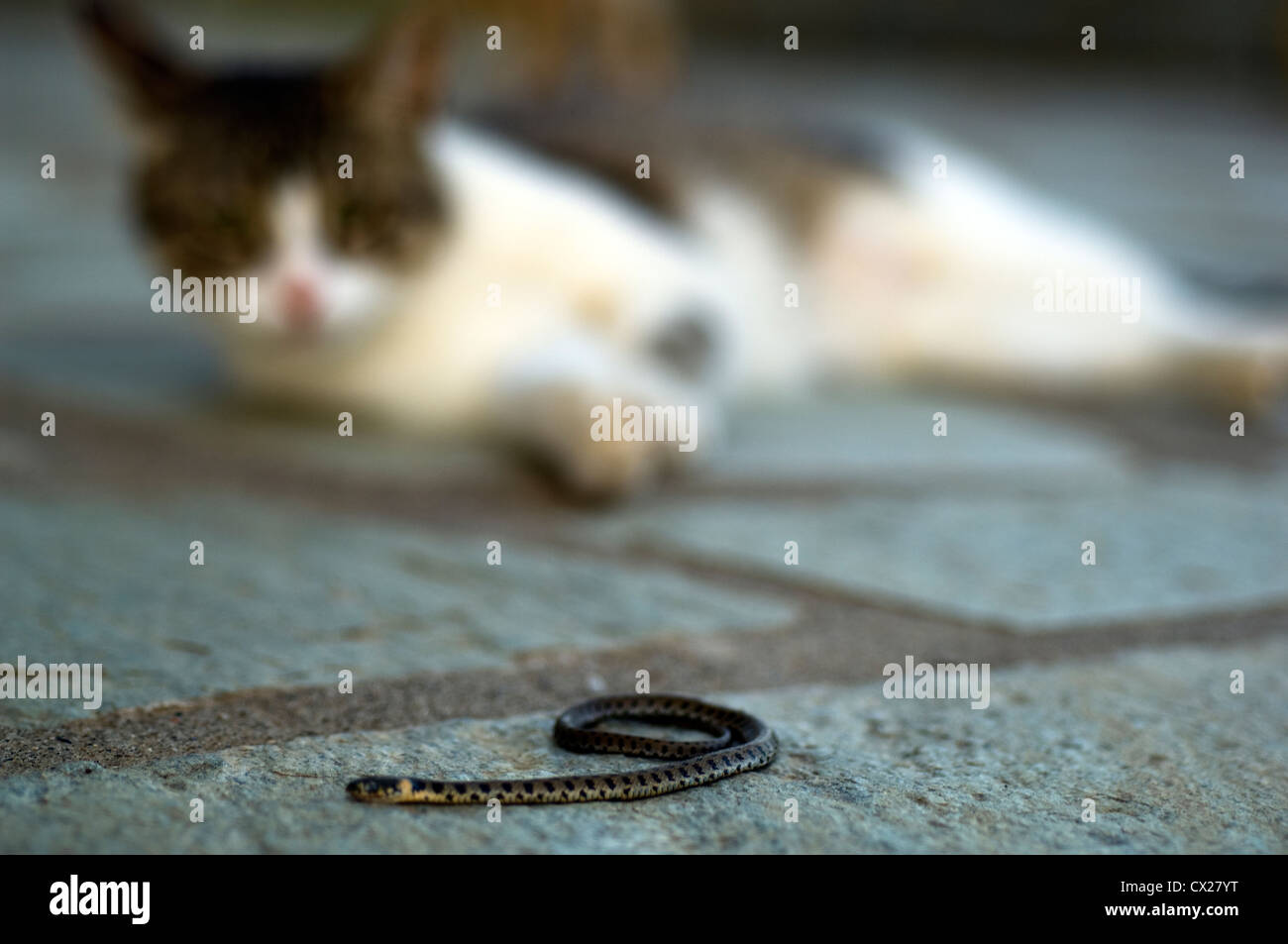 Small snake in the sights of a cat - Stock Image