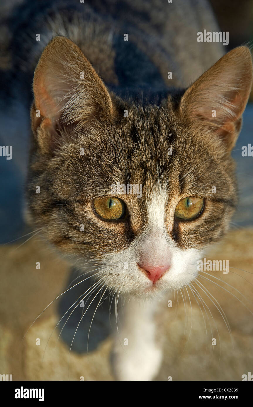 Portrait of a young cat looking upwards at camera - Stock Image