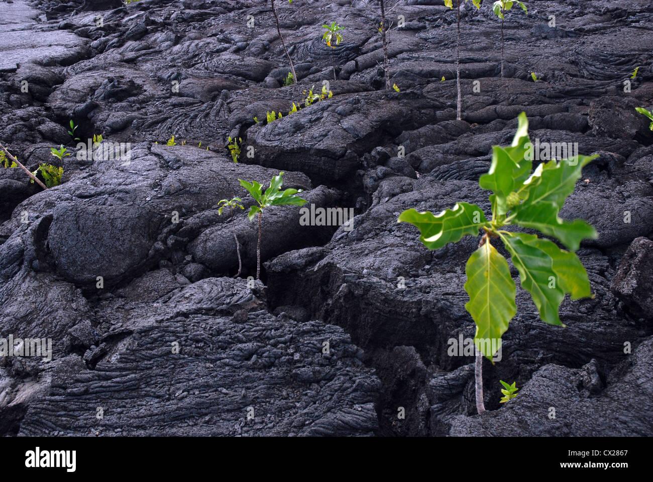 vegetation growing out of hardened lava, Saleaula lava field, Savai'i, Samoa.  Following 1905-1911 eruptions - Stock Image