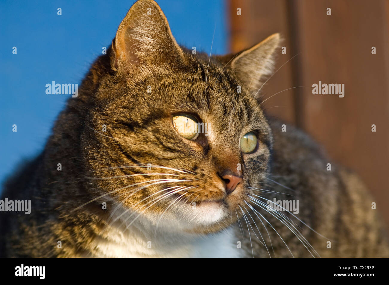 Tomcat sitting on window sill observing something attentively - Stock Image