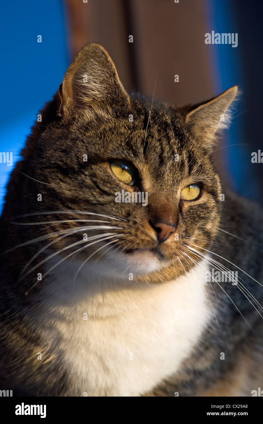 Tomcat sitting on window sill observing something - Stock Image