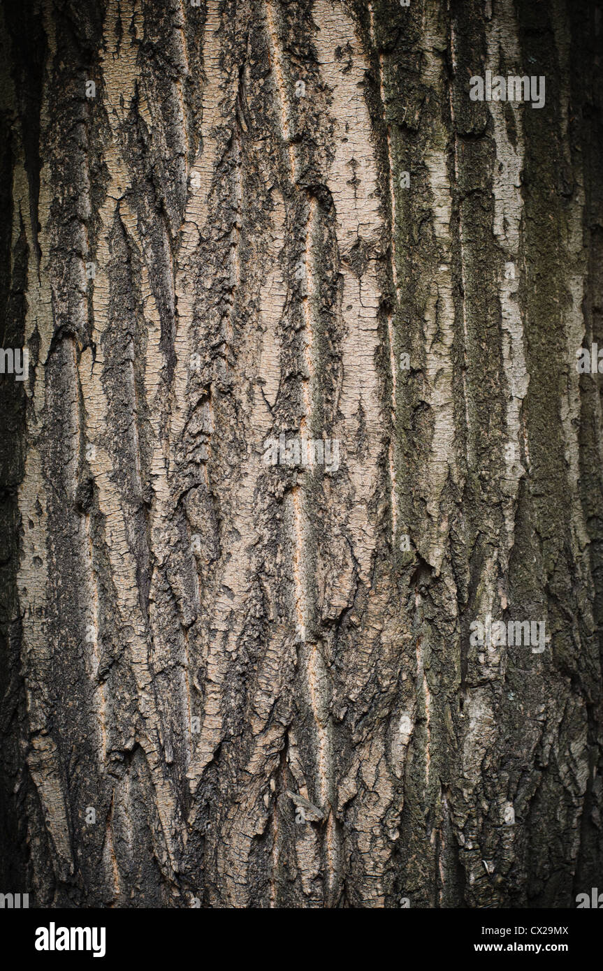 Bark of oak tree textured surface with small details - Stock Image