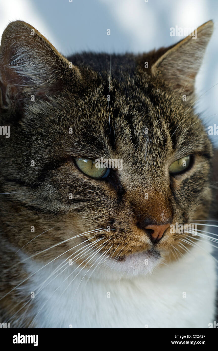 Portrait of a tabby tomcat attentively observing something - Stock Image
