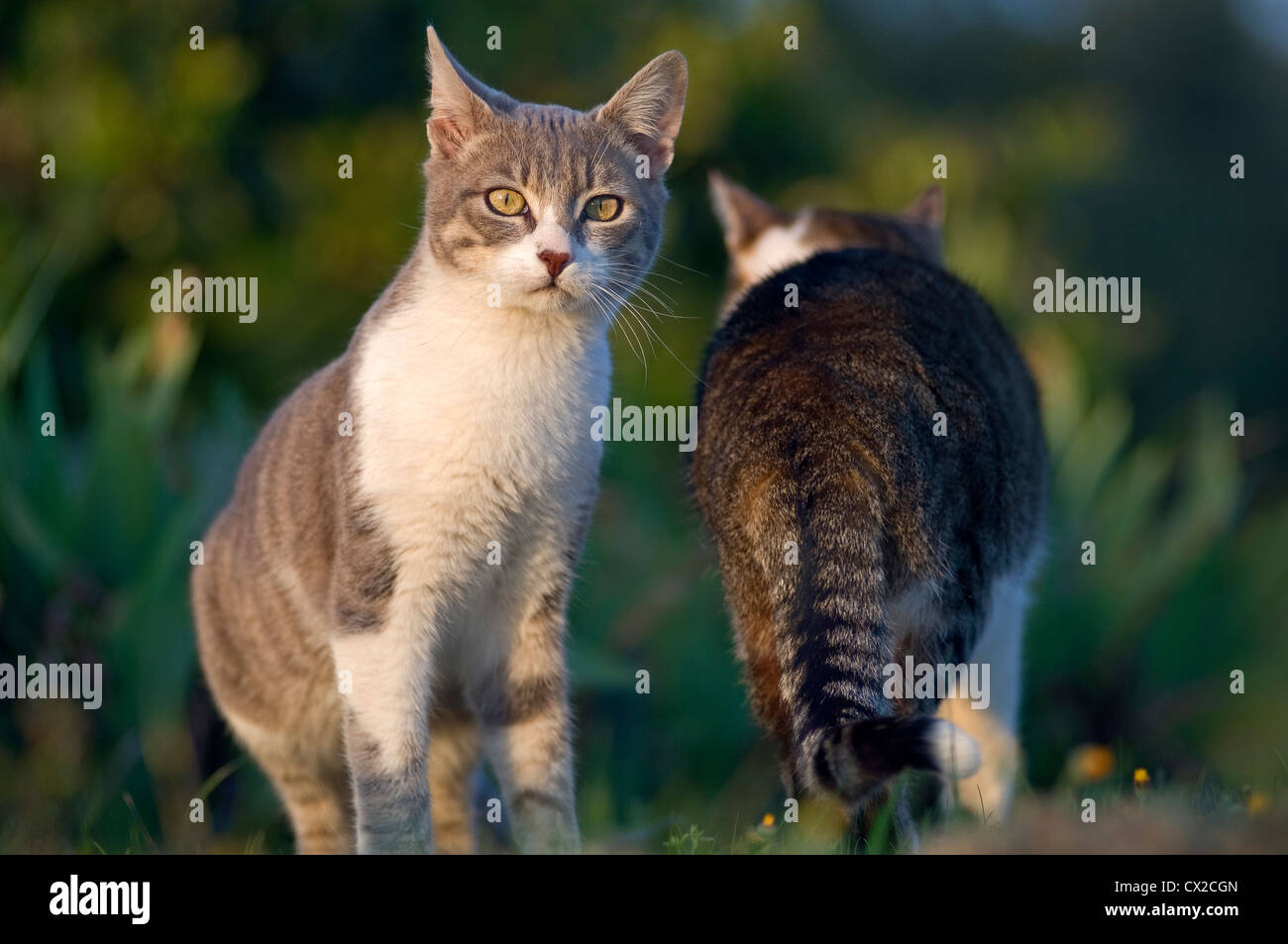 Two domestic cats in the garden Stock Photo