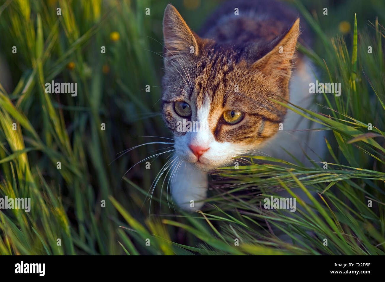 A young cat lurking in lush green grass - Stock Image