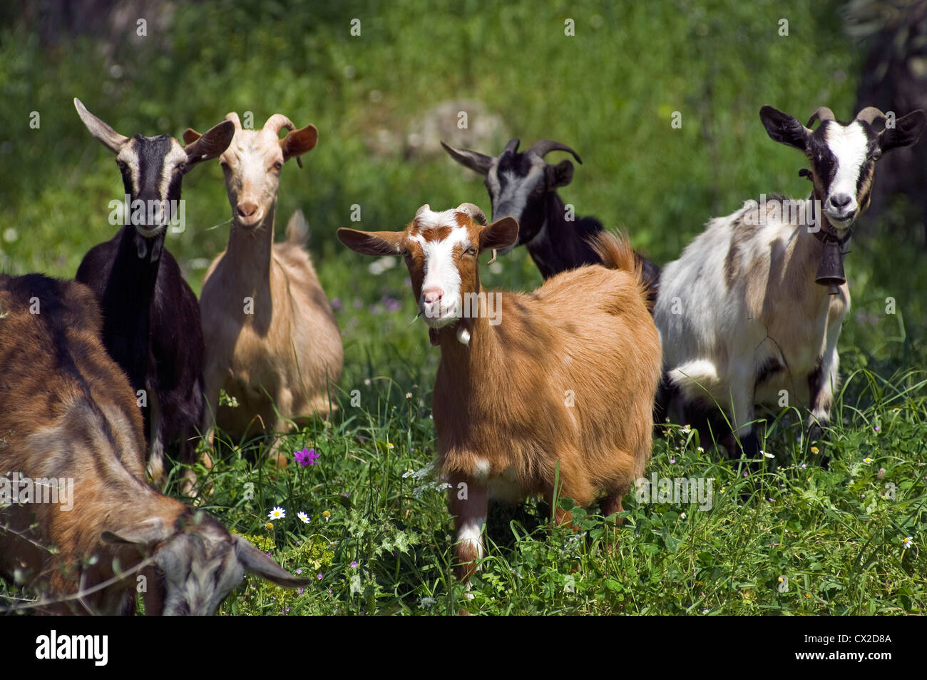 Grazing flock of goats Stock Photo