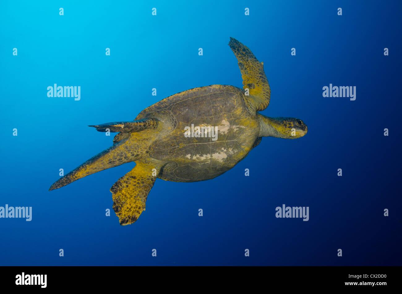 underwater reef in Cocos island, Costa Rica, turtles, blue water, clear water, deep, ocean, sea, sea life, scuba, - Stock Image