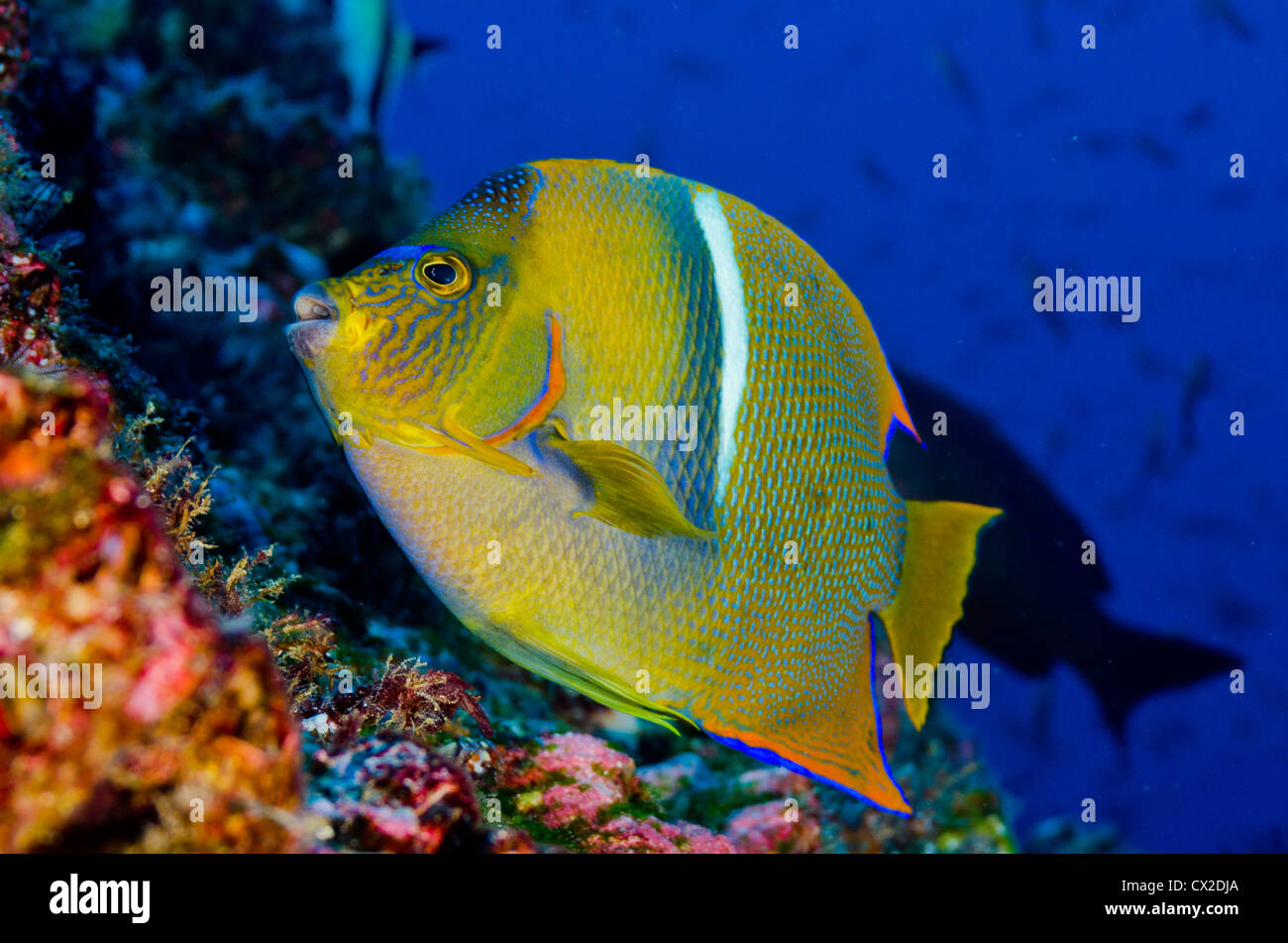 underwater reef in Cocos island, Costa Rica, fish, angel fish, blue ...