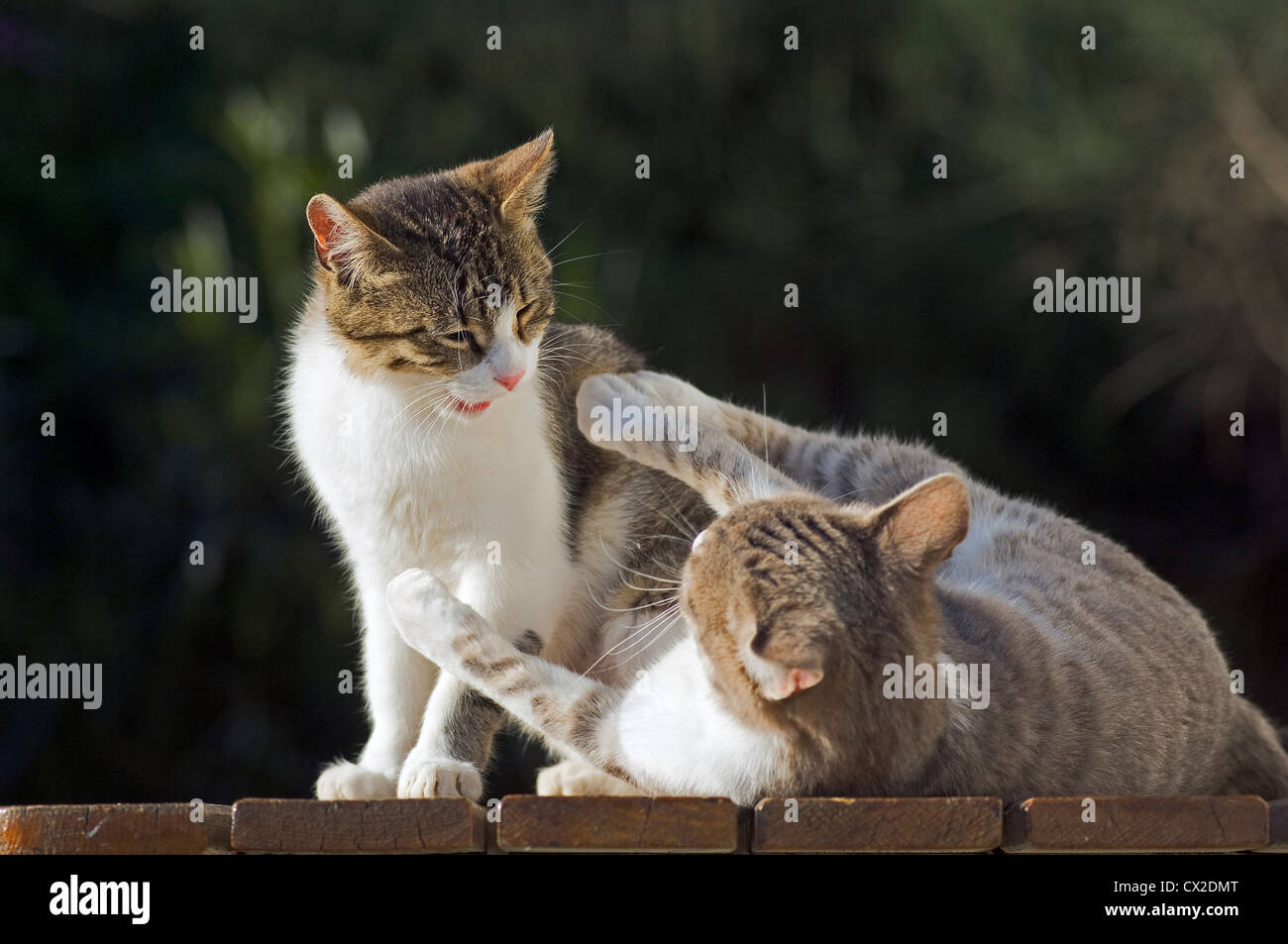 Two struggling cats - Stock Image