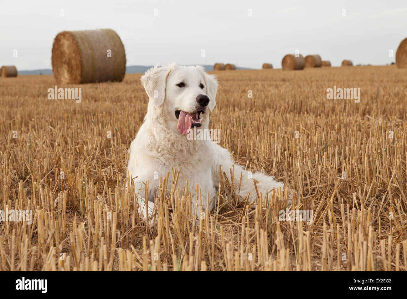 Kuvacz Hund Welpen puppies dog white sitting sitzend Wiese grün green grass aufmerksam attentively Europa Europe - Stock Image
