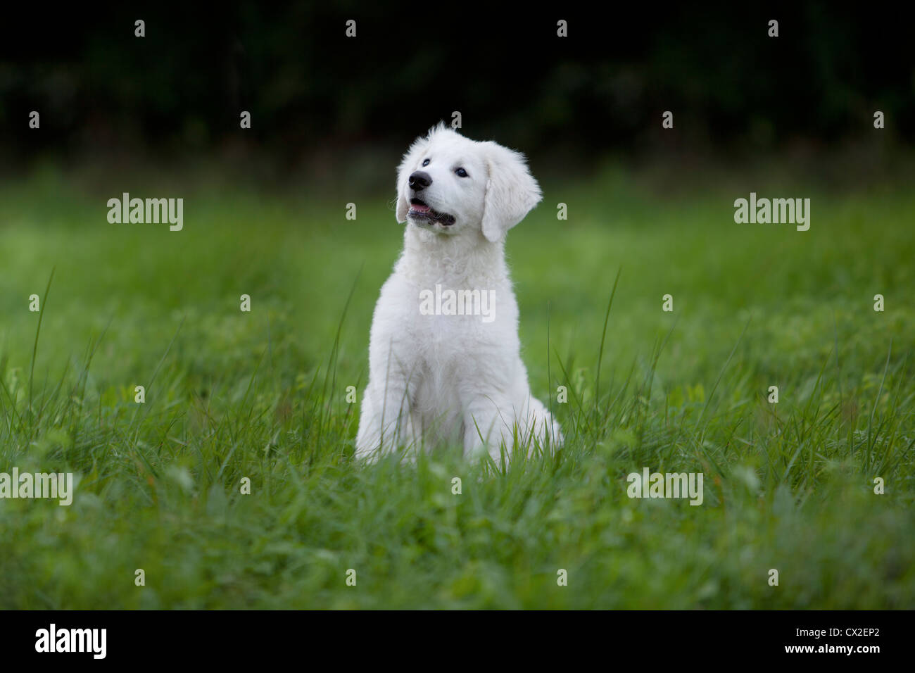 Kuvacz Hund Welpen puppies dog white sitting sitzend Wiese grün green grass aufmerksam attentively - Stock Image