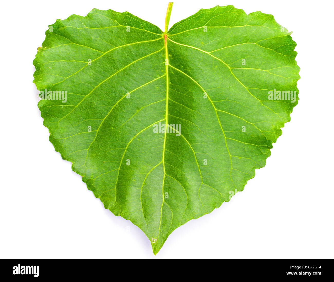 Green Heart Shaped Leaf On White Stock Photo 50458916 Alamy