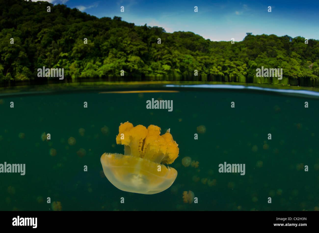 underwater scene of Palau, coral reefs, jellyfish, lake, snorkel, shallow water, split, fotosub, scuba - Stock Image