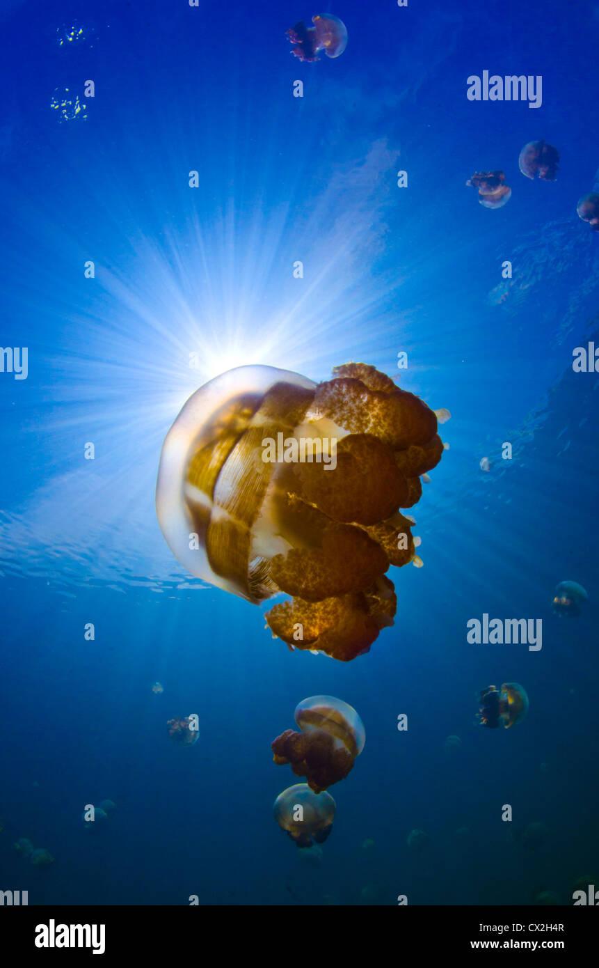 underwater scene of Palau, jellyfish lake, blue water, clear water, sun beams, shallow water, snorkel, lake, scuba, - Stock Image
