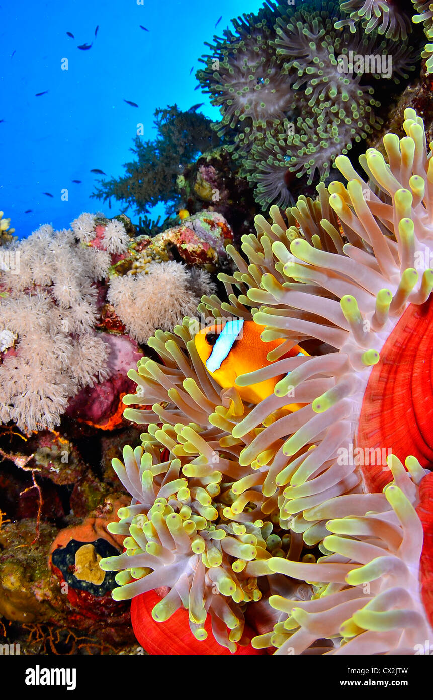 Red Sea, underwater, coral reef, sea life, marine life, ocean, scuba diving, vacation, water, fish, anemone fish, Stock Photo