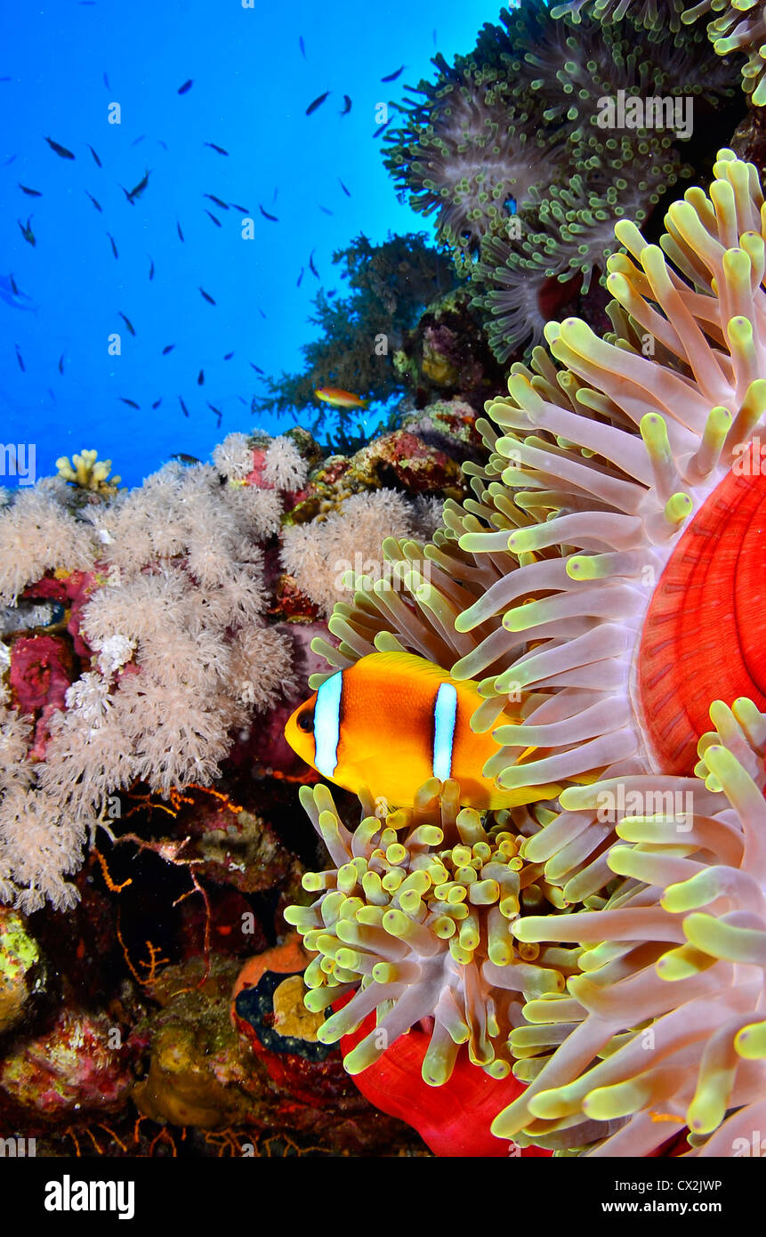 Red Sea, underwater, coral reef, sea life, marine life, ocean, scuba diving, vacation, water, fish, anemone, anemone - Stock Image