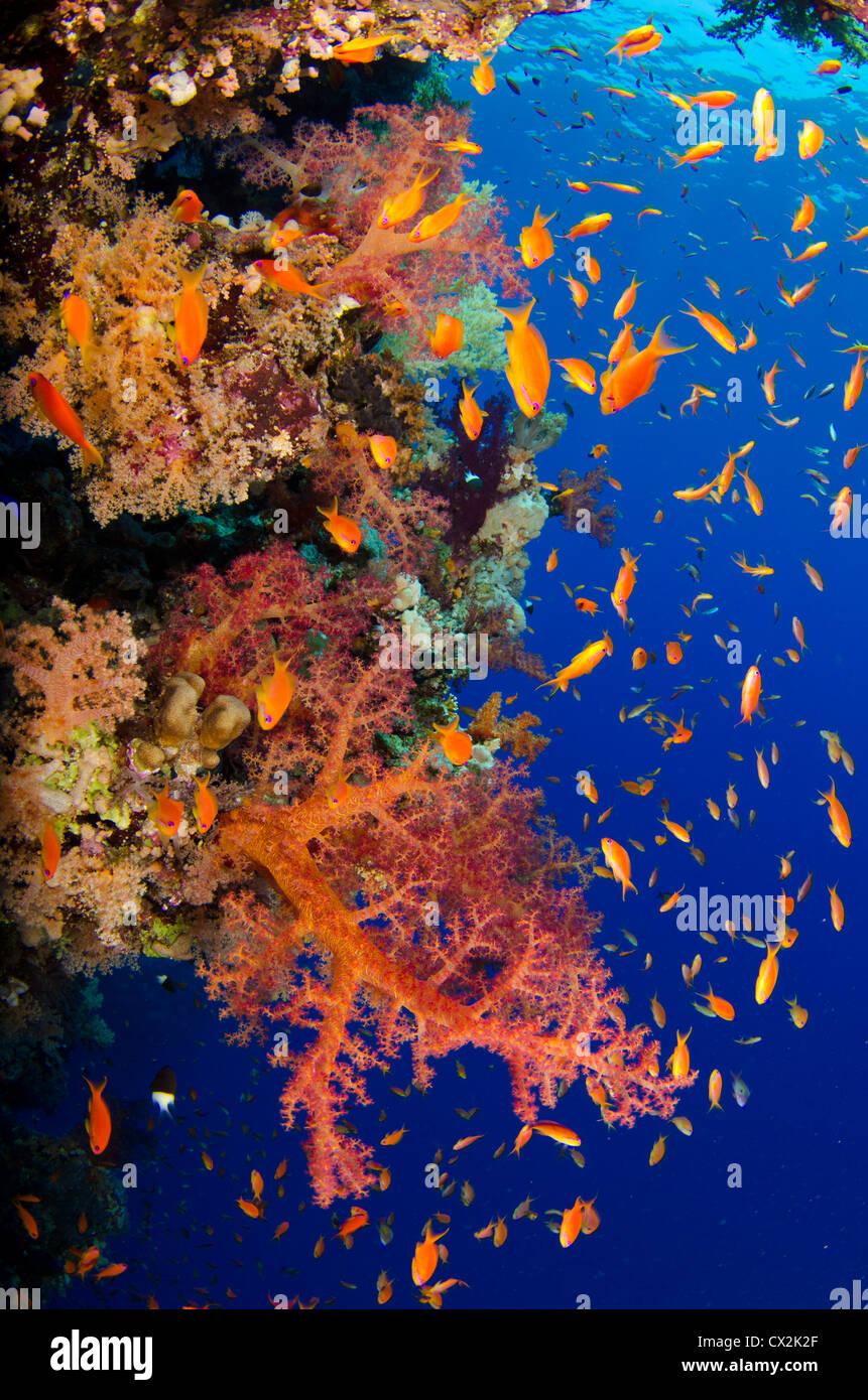 Red Sea, underwater, coral reef, sea life, marine life, ocean, scuba diving, vacation, water, fish, anthias fish, - Stock Image