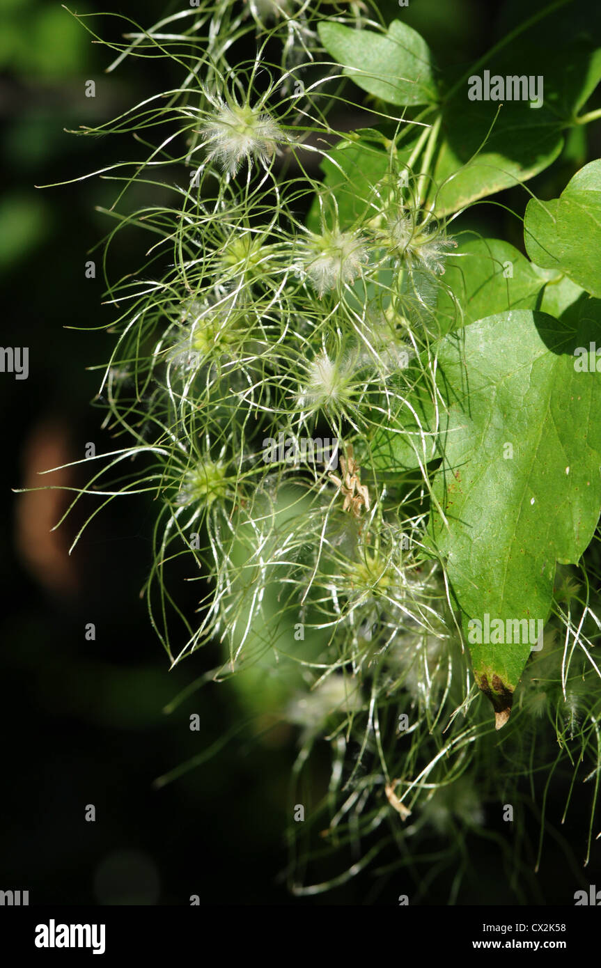 Old man's beard blooming in summer - Stock Image